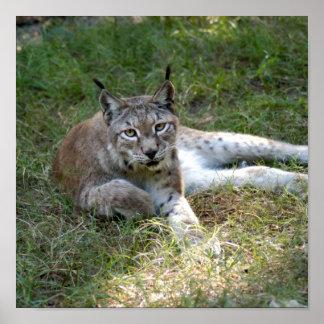 siberian lynx 027 poster