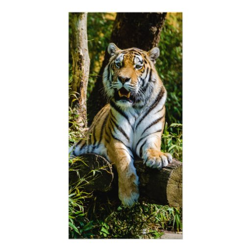 Siberian Tiger Amur Tiger Panthera Tigris Altaica Photo Card