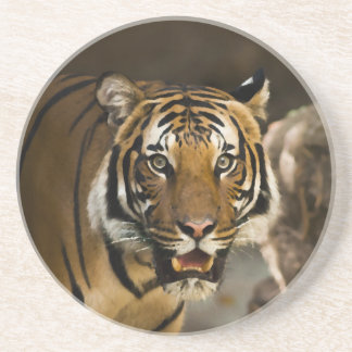 Siberian Tiger Coaster