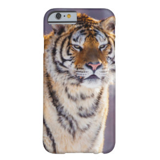 Siberian tiger in snow, China Barely There iPhone 6 Case