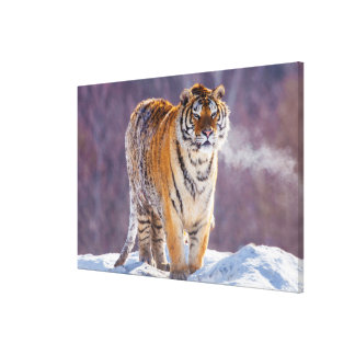 Siberian tiger in snow, China Canvas Print