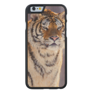 Siberian tiger in snow, China Carved Maple iPhone 6 Case