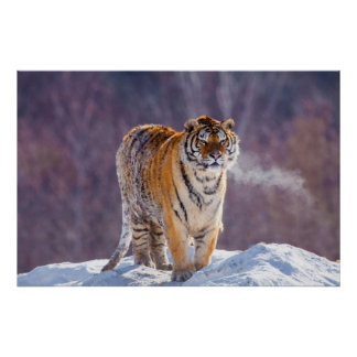 Siberian tiger in snow, China Poster