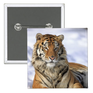 Siberian Tiger, Panthera tigris altaica, Asia, 2 Inch Square Button