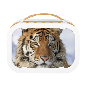 Siberian Tiger, Panthera tigris altaica, Asia Lunchboxes