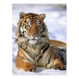 Siberian Tiger, Panthera tigris altaica, Asia, Postcard