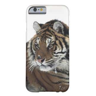 Siberian Tiger (Panthera Tigris Altaica) Barely There iPhone 6 Case
