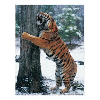 Siberian Tiger (Panthera tigris altaica) Postcard