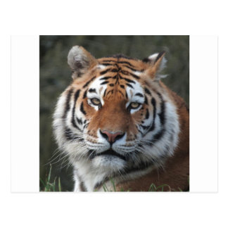 Siberian Tiger Portrait Postcard