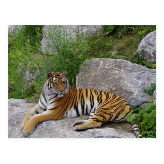 Siberian Tiger Relaxing on a Rock Postcard