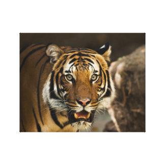 Siberian Tiger Stare Canvas Print