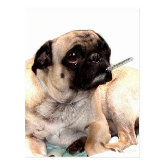 Sick pug with thermometer postcard