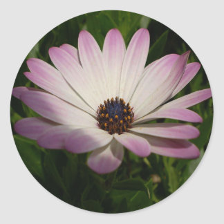 Side View of A Pink and White Osteospermum Classic Round Sticker