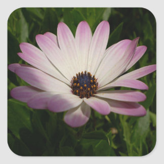 Side View of A Pink and White Osteospermum Square Sticker