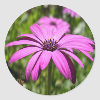 Side View Of A Purple Osteospermum With Garden Bac Round Sticker
