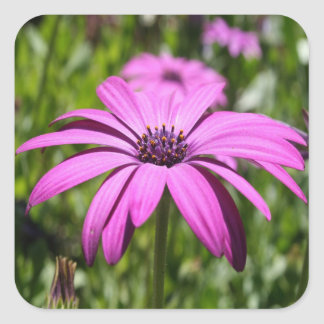 Side View Of A Purple Osteospermum With Garden Bac Square Sticker