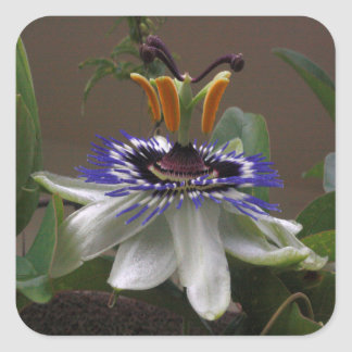 Side View of Beautiful Passiflora Flower Square Sticker