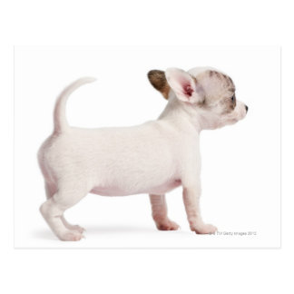 Side view of Chihuahua Puppy (10 weeks old) Postcard