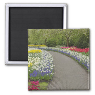 Sidewalk pathway through tulips and daffodils, 2 square magnet