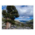 Sierra Juniper and Evergreen Trees 2 Postcard
