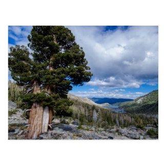 Sierra Juniper and Evergreen Trees 2 Postcard