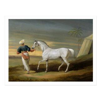 Signal, a grey Arab, with a Groom in the Desert (o Postcard