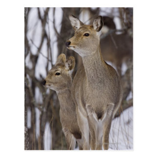Sika Deer Doe and Young, Hokkaido, Japan Postcard