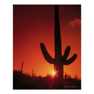 Silhouette of cactus at dusk , Saguaro National Poster