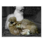 Silkie Hens with Chicks Peeking out of Feathers