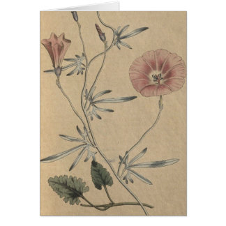 Silky Leaved Convolvulus Card