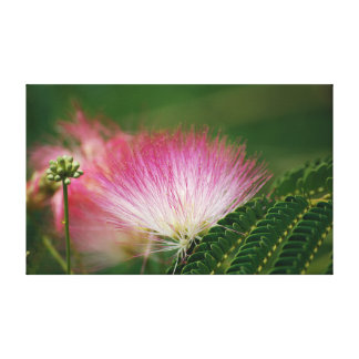 Silky Pink Mimosa Canvas Print