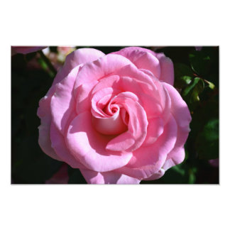 Silky Pink Rose Print Photo Art
