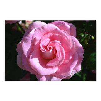 Silky Pink Rose Print Photo