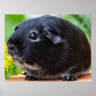 Silver fox guinea pig poster