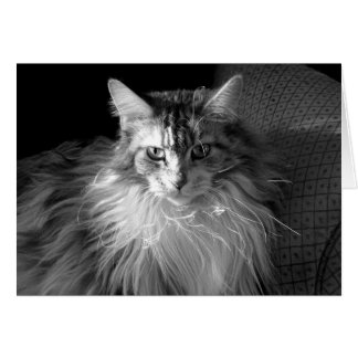 Silver Patched Tabby with White Maine Coon cat Card