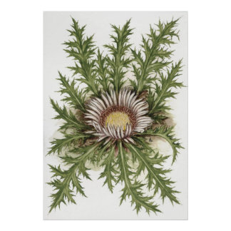 Silver Thistle --  Sue Abonyi Poster