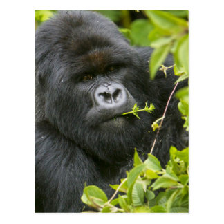 Silverback Mountain Gorilla Postcards