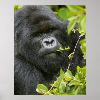 Silverback Mountain Gorilla Poster