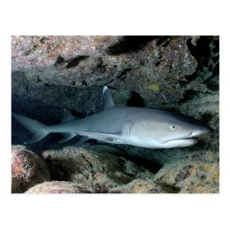 Silvertip Shark Postcard