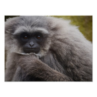 Silvery Gibbon Poster