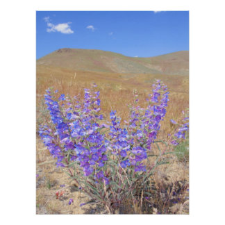 Silvery Lupine Posters