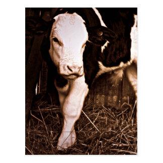 Simmental X Holstein Bull Calf Postcard