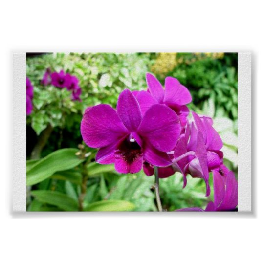 Singapore Orchid Poster