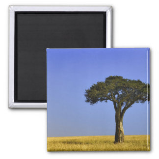 Single Acacia tree on grassy plains, Masai Mara, Square Magnet