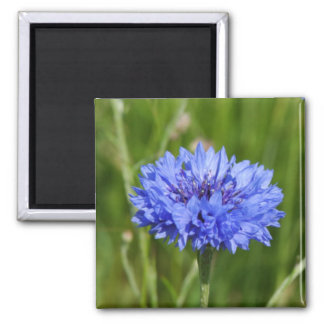 Single Blue Cornflower in green English Meadow Square Magnet