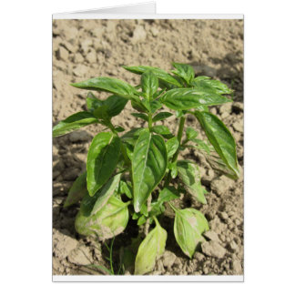 Single fresh basil plant growing in the field card