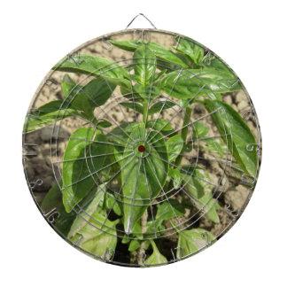 Single fresh basil plant growing in the field dartboard