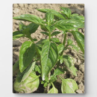 Single fresh basil plant growing in the field plaque