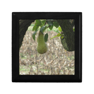 Single green pear hanging on the tree gift box