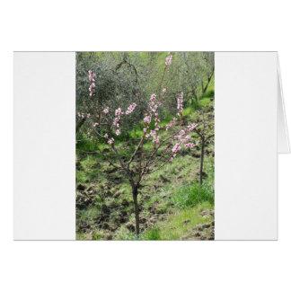 Single peach tree in blossom. Tuscany, Italy Card